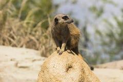 猫鼬 免版税库存图片