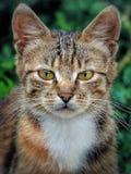 猫,特写镜头 免版税库存照片