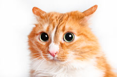 猫,狡猾 库存照片
