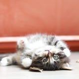 猫,西伯利亚品种布朗小狗  免版税图库摄影