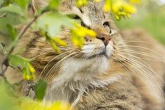 猫,走本质上的宠物画象在开花的灌木的在夏天 免版税库存照片