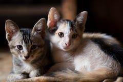 猫, A小的猫,孪生猫 库存图片