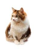 猫头发的红色 图库摄影