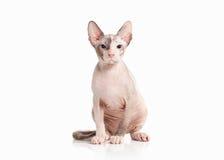 猫 唐在白色背景的sphynx小猫 库存照片