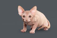猫 在灰色背景的加拿大sphynx小猫 免版税库存图片