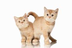 猫 在白色背景的两只小红色英国小猫 免版税图库摄影