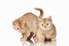 猫 在白色背景的两只小红色英国小猫 库存照片