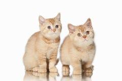 猫 在白色背景的两只小红色英国小猫 图库摄影