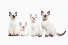 猫 在白色背景的几只泰国小猫 免版税库存图片