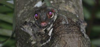 猫猴婆罗洲播种的面孔 免版税库存照片
