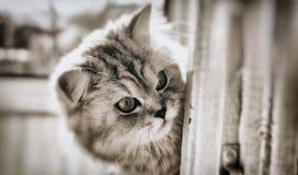 猫 直接高地 库存照片