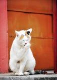 猫洗涤物 免版税库存图片
