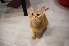猫滑稽的姜 免版税库存图片