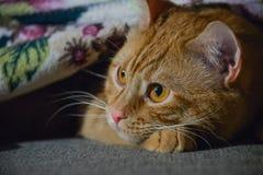 猫滑稽的姜 库存图片