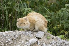 猫 粗砺的恼怒的姜汤姆猫外面坐镇庭院只有单面倾斜的屋顶 户外家猫 免版税库存照片