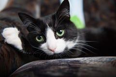 猫说谎在长沙发和安置一只脚在他的后头白色版本-集中于眼睛 图库摄影