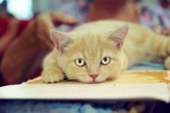 猫说谎 免版税库存图片
