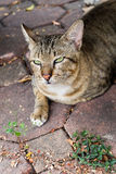 猫说谎 免版税库存照片