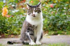 猫画象。 免版税图库摄影