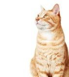 猫画象。 库存图片
