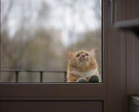 猫画象与哀伤的眼睛的在玻璃门后 免版税库存照片