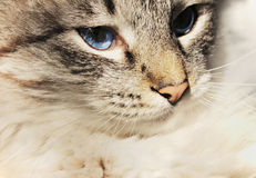 猫画象与蓝眼睛的 免版税库存图片