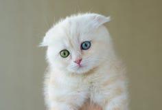 猫画象用不同的眼睛的-蓝色和绿色 库存照片