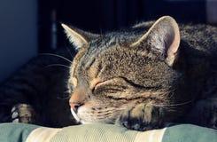 猫画象 图库摄影