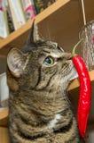 猫素食主义者 在内部的纵向 库存照片