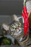 猫素食主义者 在内部的纵向 免版税库存图片