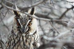 猫头鹰。 免版税库存照片