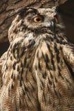 猫头鹰凝视往 免版税库存照片