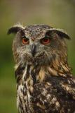 猫头鹰凝视 库存图片