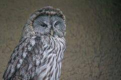 猫头鹰在俄国动物园里 免版税库存照片