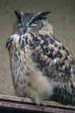 猫头鹰在俄国动物园里 免版税库存图片