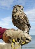 猫头鹰在手边 图库摄影