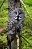 猫头鹰在森林里 库存照片