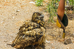 猫头鹰在沙漠 库存照片