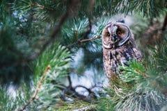 猫头鹰坐分支在森林里 免版税图库摄影