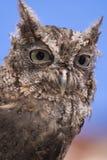 猫头鹰尖叫声 免版税图库摄影
