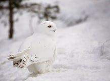 猫头鹰布拉格多雪的动物园 图库摄影