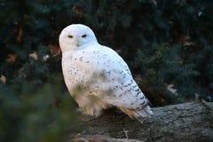猫头鹰布拉格多雪的动物园 库存照片