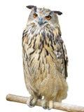 猫头鹰栖息的年轻人 免版税图库摄影