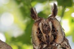 猫头鹰特写镜头 免版税库存图片
