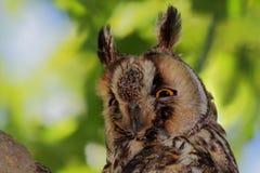 猫头鹰特写镜头 库存图片