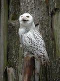 猫头鹰白色 库存照片