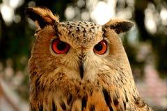 猫头鹰的美丽的眼睛 免版税库存照片