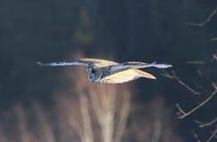猫头鹰的飞行 库存图片
