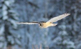猫头鹰的飞行 库存照片