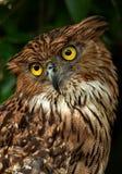 猫头鹰的画象 免版税库存照片